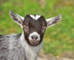 goat-785289_960_720