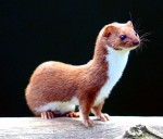 mustela_nivalis_-british_wildlife_centre-4