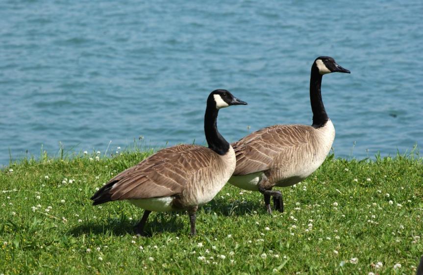 goose201