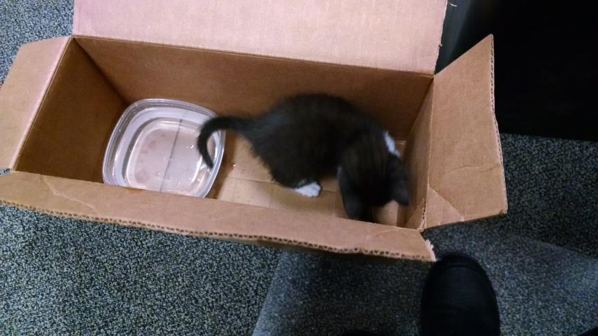 tuxedo kitten