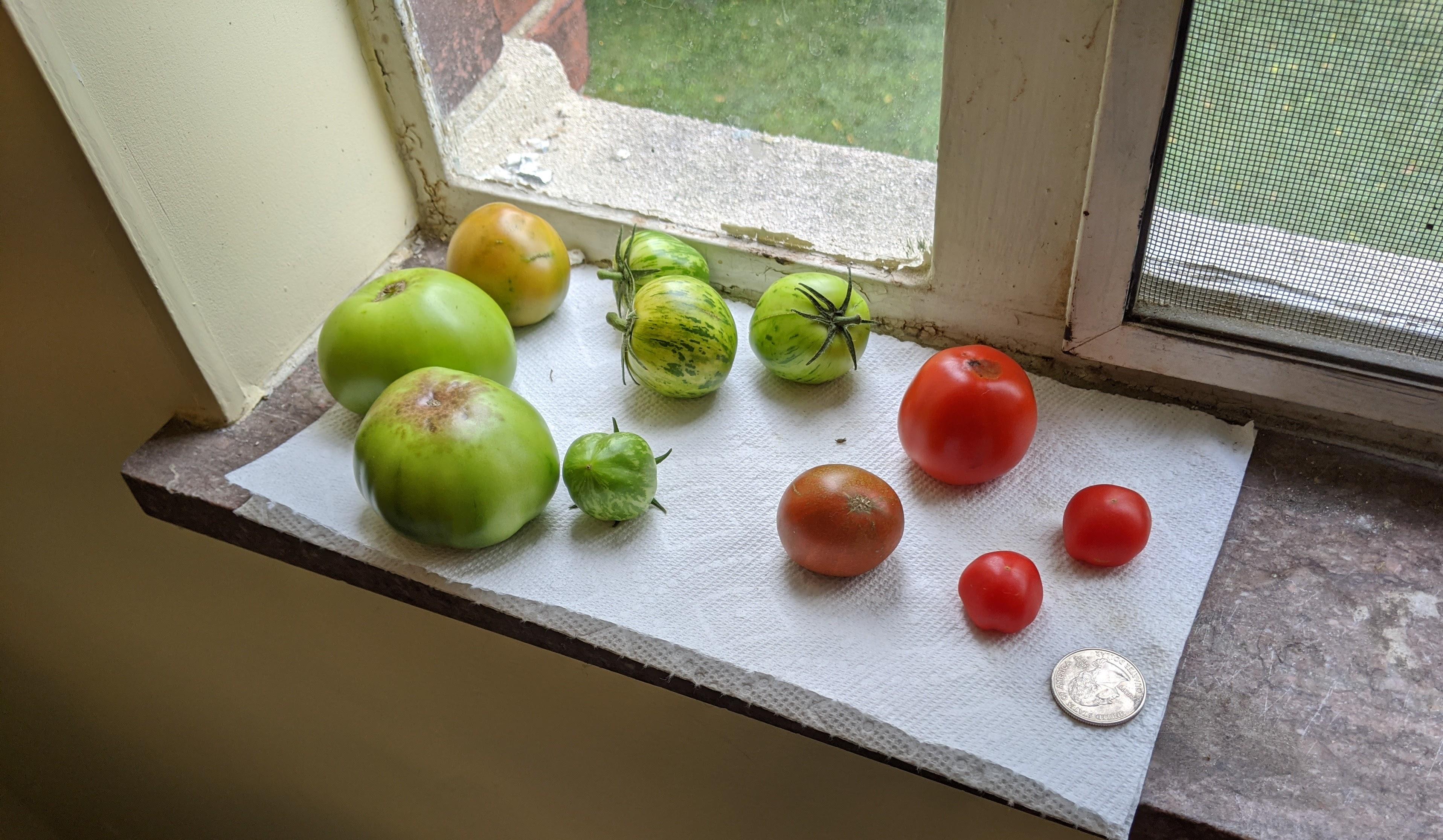 sad tomato harvest